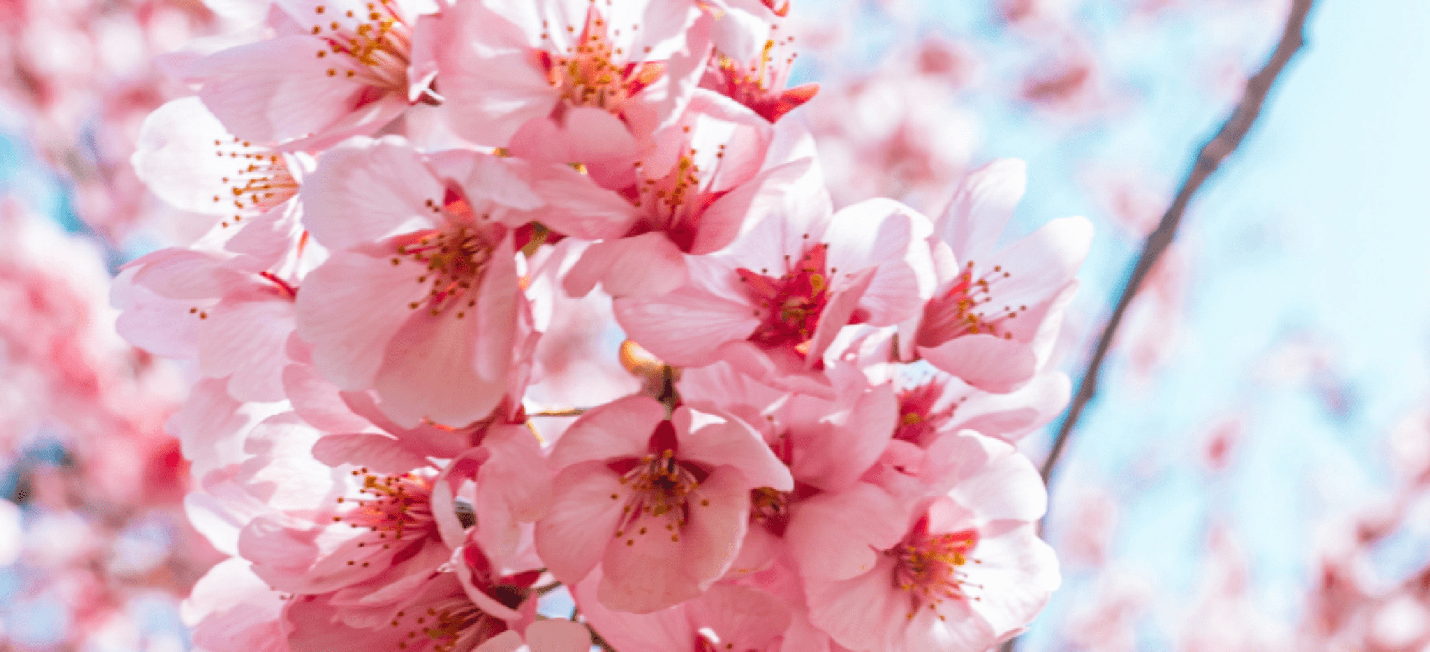 Cherry Blossoms In Japan A National Treasure