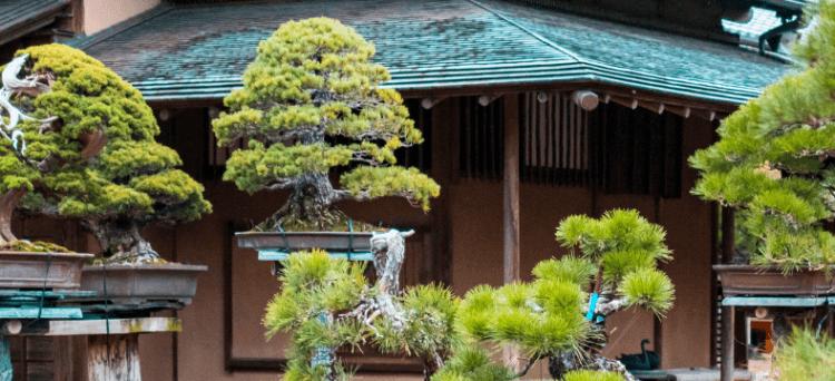 bonsai in giappone