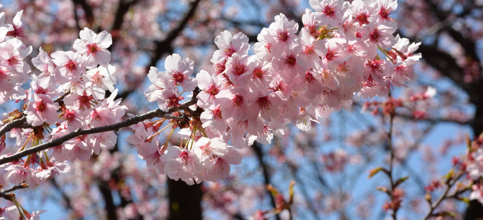 le sens cach des fleurs de cerisier au japon. Black Bedroom Furniture Sets. Home Design Ideas