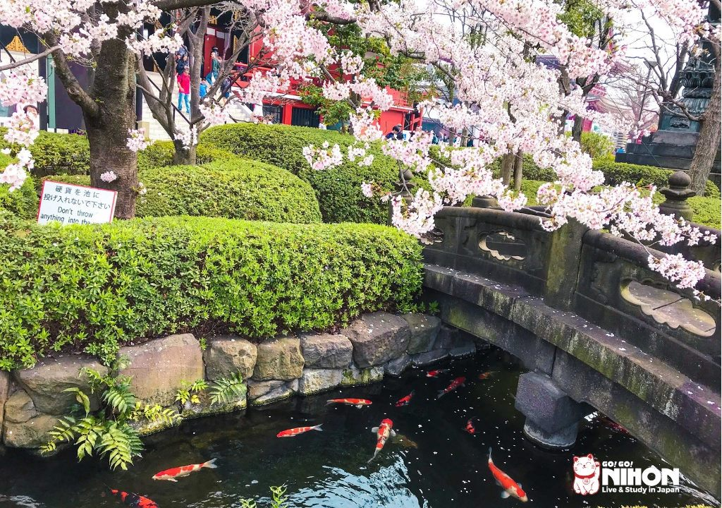 Cherry blossom over a bridge