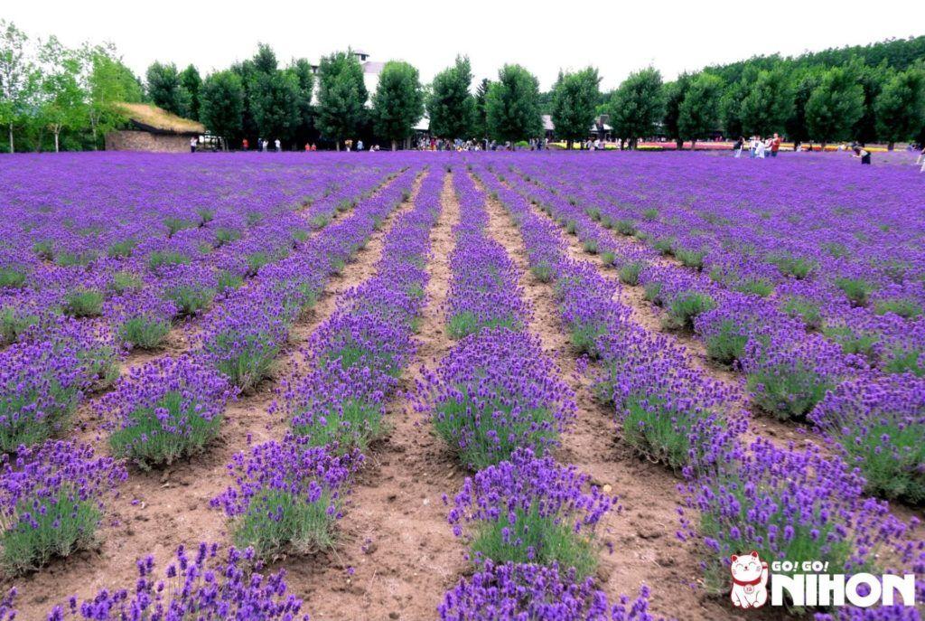 Lavendelfelder in Hokkaido