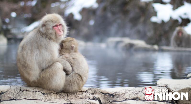 Monkeys at Jigokudani monkey park sitting by onsen