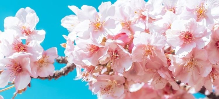 pronóstico para los cerezos en flor
